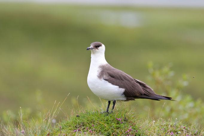 Spatelraubmöwe (Stercorarius pomarinus), Island