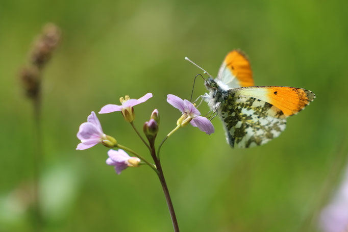 Aurorafalter (Anthocharis cardamines), Burgwald