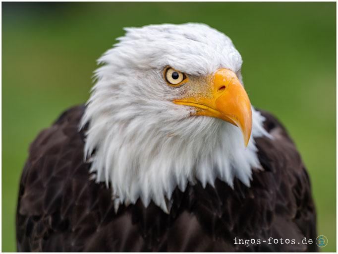 Der Wappenvogel - Weißkopfseeadler, Adlerwarte Berlebeck