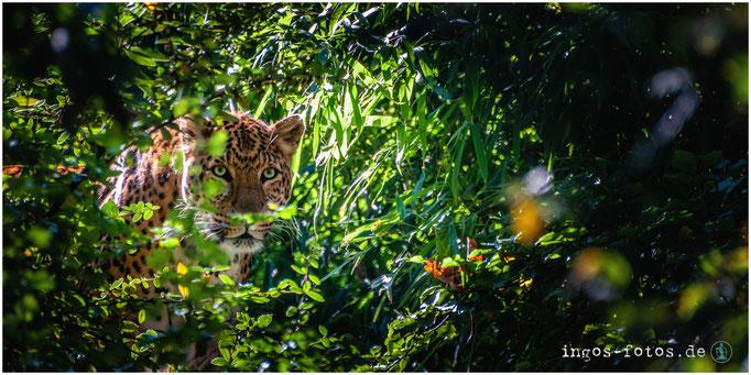 Nordchinesischer Leopard  - mit freundlicher Genehmigung von Hagenbeck