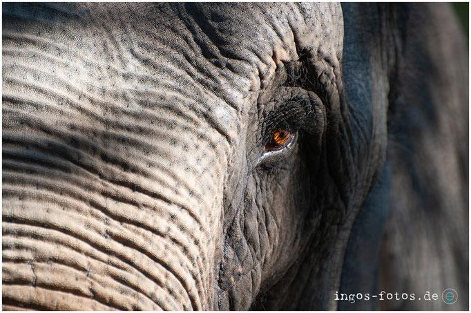 Indischer Elefant - mit freundlicher Genehmigung von Hagenbeck
