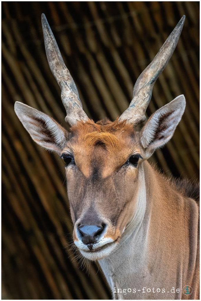 Elen Antilope, Erlebnis-Zoo Hannover