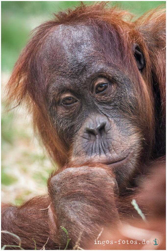 Wer betrachtet hier wen? - Orang Utan, Zoo Frankfurt