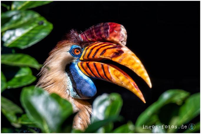 Helmhornvogel, Weltvogelpark Walsrode
