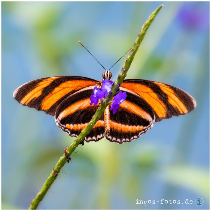 Schmetterling, Royal Burgers' Zoo, Arnheim