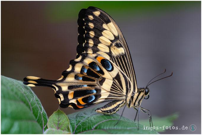 Schmetterling, Grevenmacher Schmetterlingspark