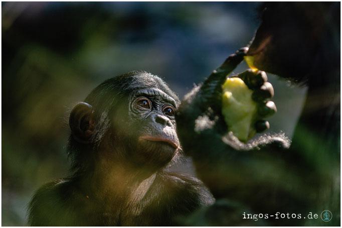 Bonobo, Zoo Frankfurt