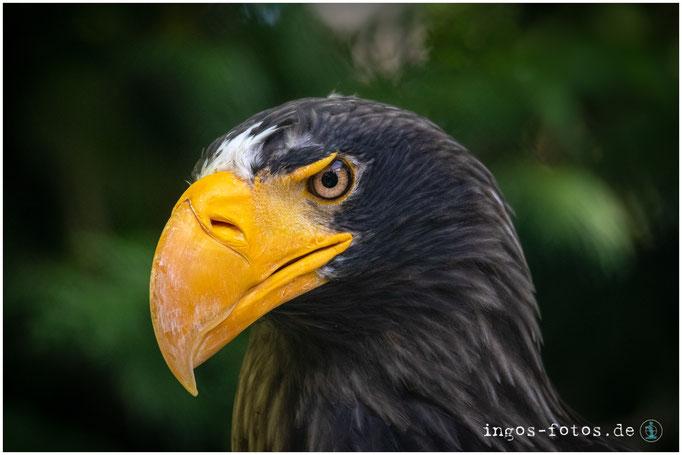 Riesenseeadler, Weltvogelpark Walsrode