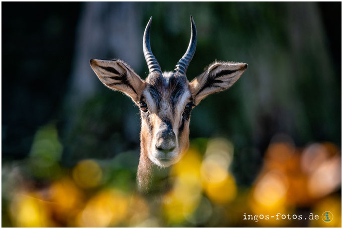 Mhorr-Gazelle, Zoo Frankfurt