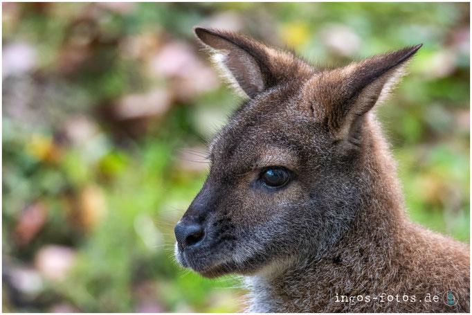 Bennett-Känguru, Erlebnis-Zoo Hannover