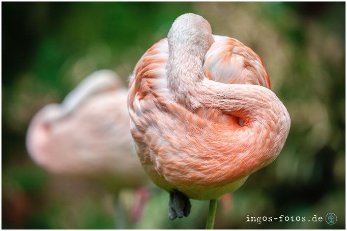 Flamingo, Zoo Frankfurt