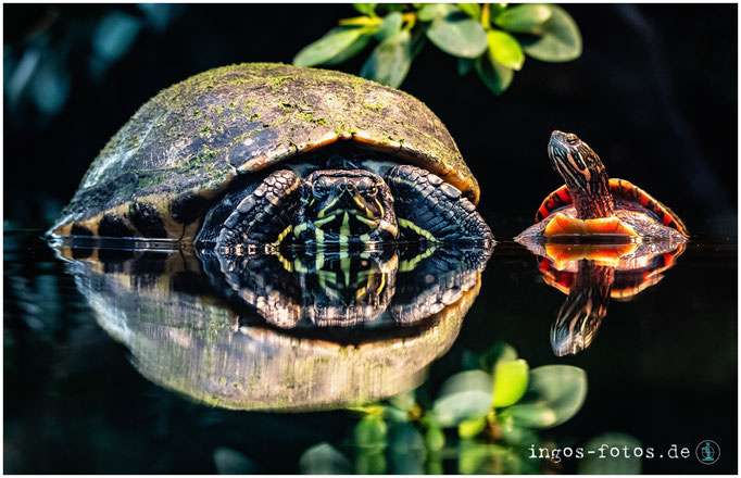 Schildkröten, Zoo Frankfurt