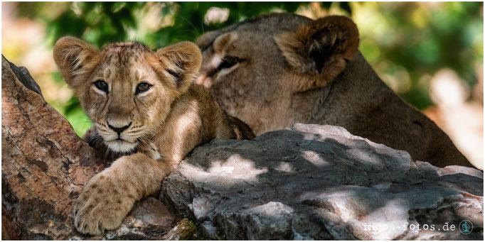 Asiatische Löwen, Zoo Frankfurt