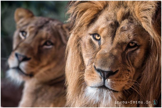 Berberlöwen, Erlebnis-Zoo Hannover