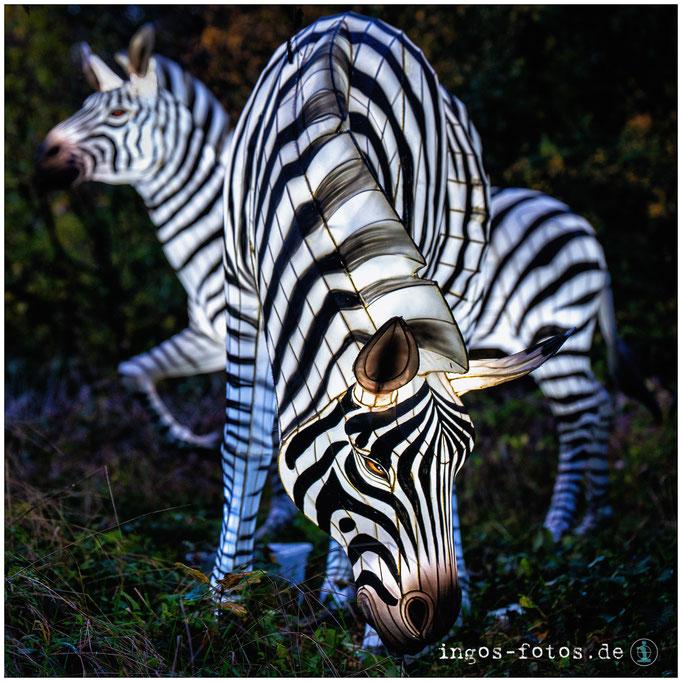 "Zebras, ""Zoo-Lights"", Zoo Osnabrück"