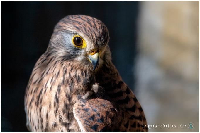 Falke, Weltvogelpark Walsrode