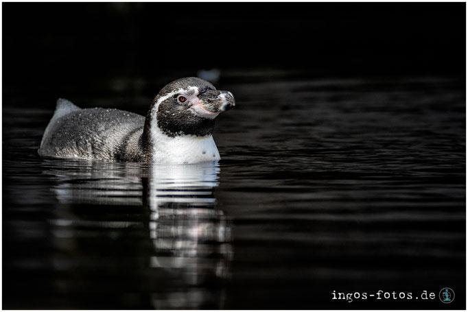 Humboldt-Pinguin -mit freundlicher Genehmigung von Hagenbeck