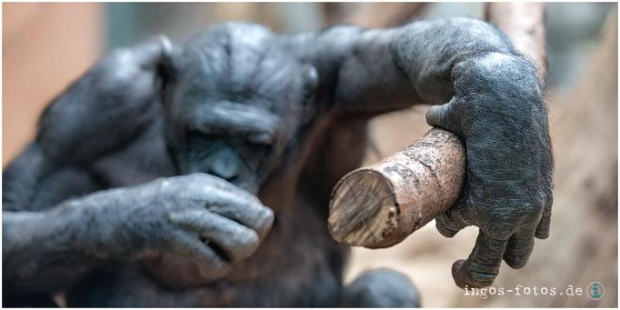 """Bonobo """"Ludwig"""", Zoo Frankfurt"""