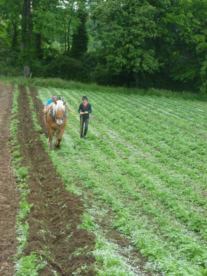 Formation traction animale travaux agricoles