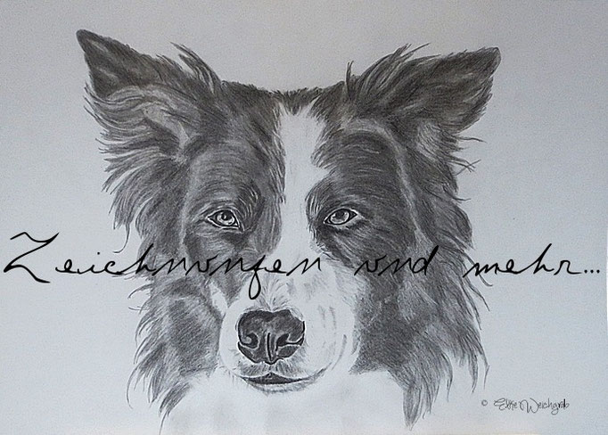 Bleistift Border Collie