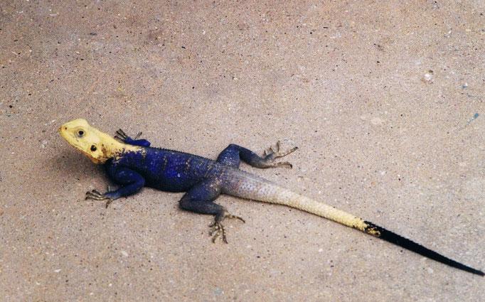Salamandre sénégalaise