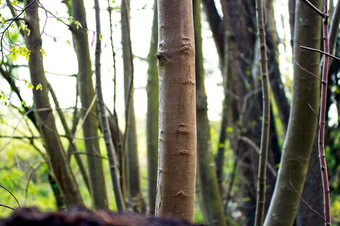 Troncs d'arbres, forêt domaniale, IDF, France
