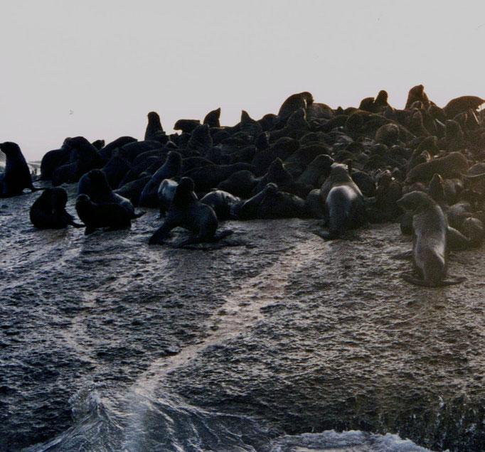 L'Ile aux Phoques, Cap de Bonne Espérance, Afrique du Sud