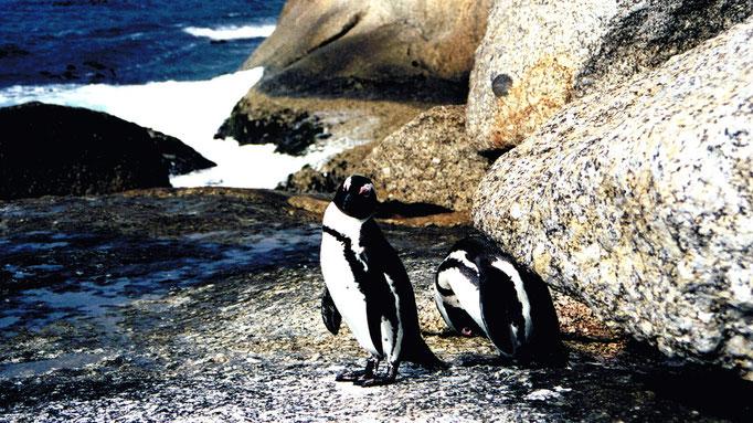 Couple de Pingouins, Cap de Bonne Espérance, Afrique du Sud