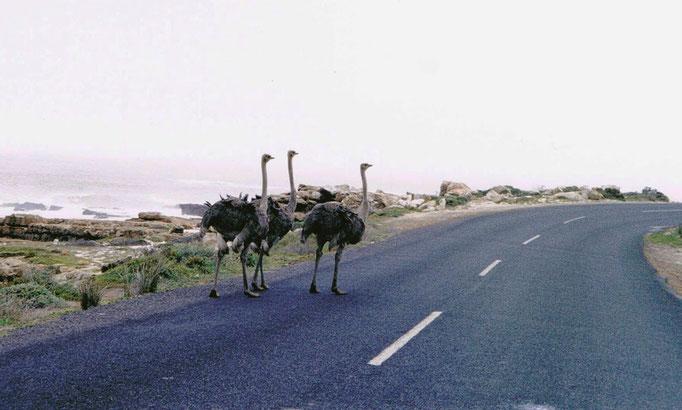 Famille d'Autruches marchant sur la route, Afrique du Sud