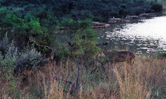 Famille de Cervidés, Afrique du Sud