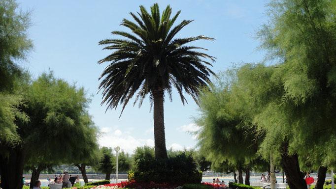 Palmiers, plage de San Sebastian, Espagne