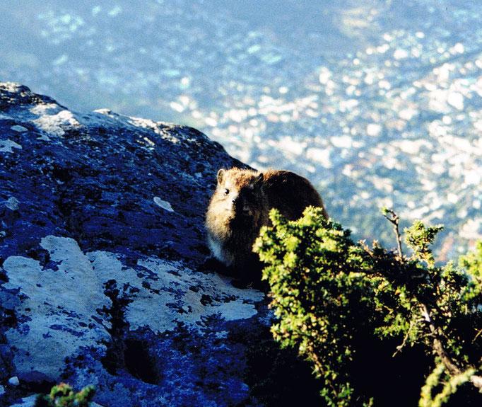 Marmotte, Afrique du Sud