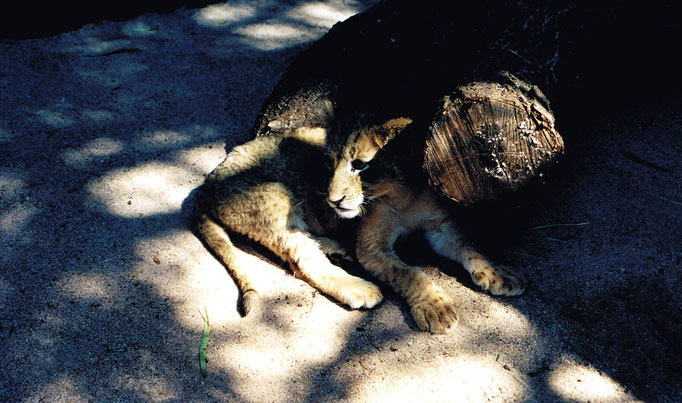 Lionceau couché, Sun City, Afrique du Sud