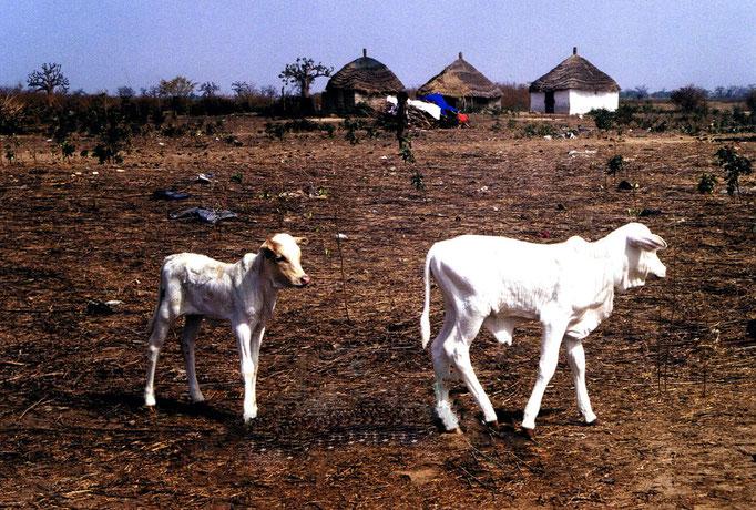 Vaches sacrées sénégalaises
