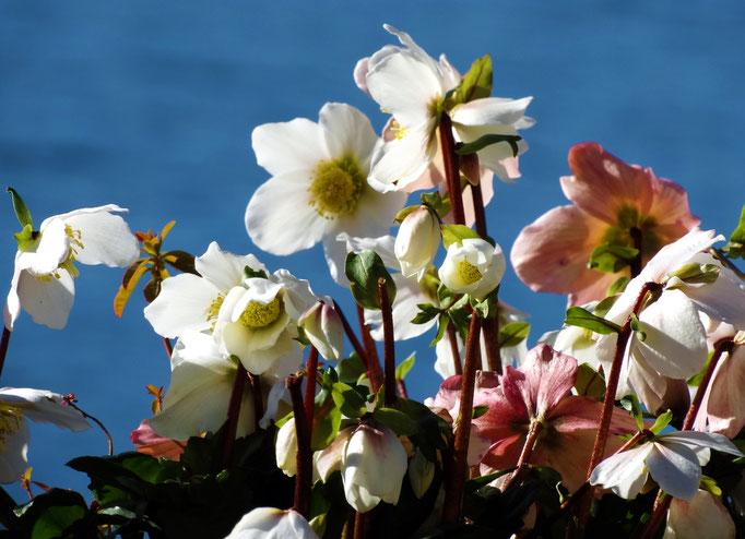 Fleurs Hivernales, Lac Léman, Montreux, Suisse