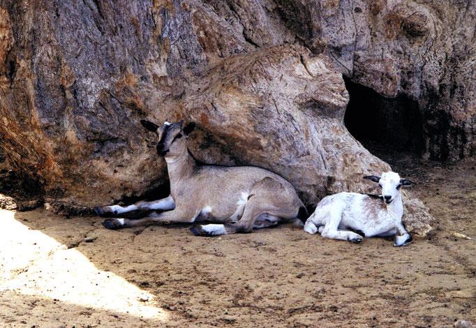 Chèvres sénégalaises faisant la sieste à l'abri du soleil