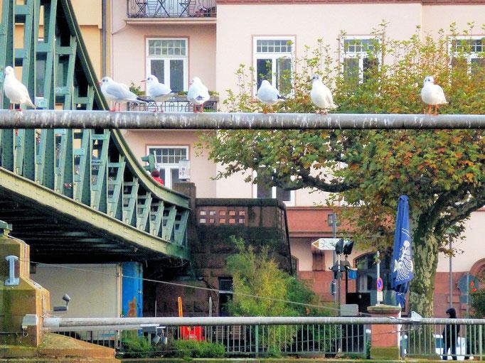 Möven am Eisernen Steg November 2014 eingesandt von Hartmut Trieb / Frankfurt am Main