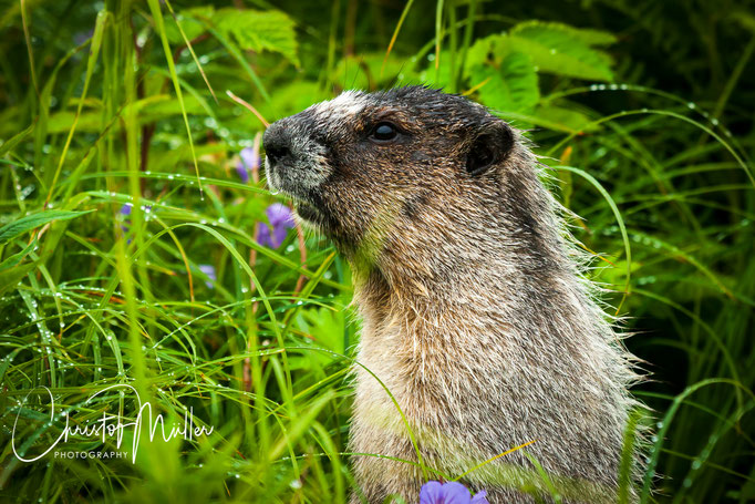 Hoary Marmot are easy to watch on Mt Roberts Trail in Juneau