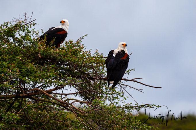 The African fish eagle (Haliaeetus vocifer),  in QENP, Uganda