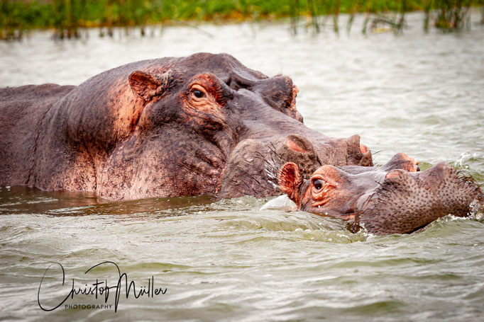 The common hippopotamus (Hippopotamus amphibius) in Kazinga Channel Uganda