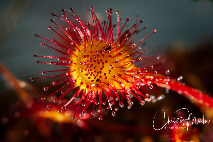 The Round-leafed sundew (Drosera rotundifolia) is a very small carnivorius plant. The droplets have a sticky substance which can trap small insects.