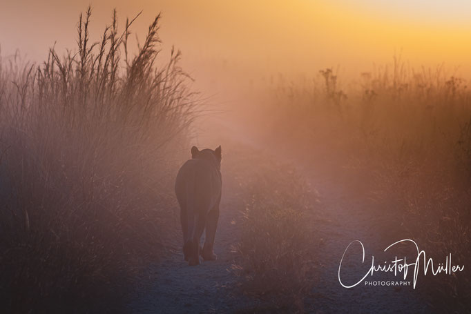 Lioness walking across the path in the early morning light