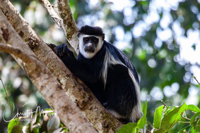 The Black-and-white colobus monkey (Colobus guereza) in Bigodi Wetland Sanctuary is a native old world monkey of Africa