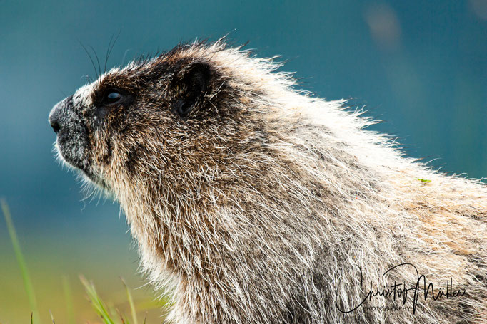 Hoary Marmots are a very widespread animal in Mountain areas