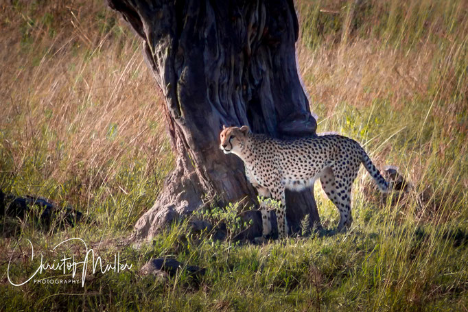 to see a Cheetah is still a rare opportunity as Hwange National Park is not a game park