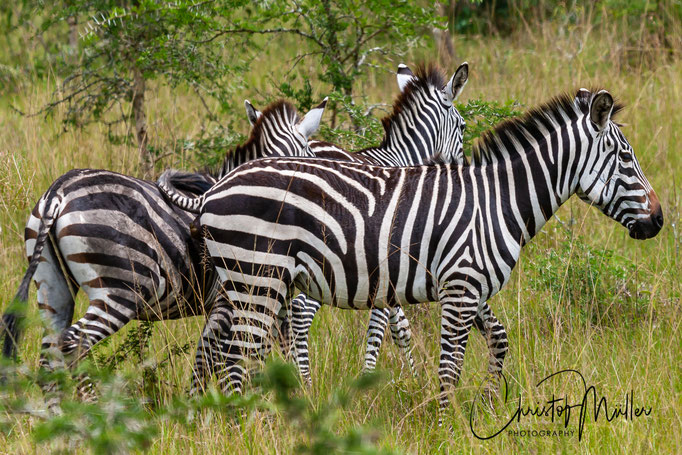 Burchell's zebra in Lake Mburo National Park is the only place in Ufganda where you can find them.
