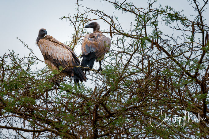 White-Backed Vultures (Gyps africanus) on a tree in in QENP, Uganda