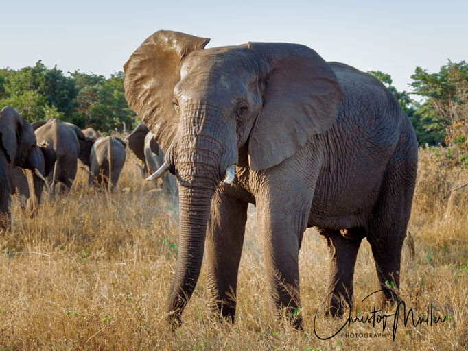In Hwange you will have close eye-to-eyer encounters to the beautiful elephants