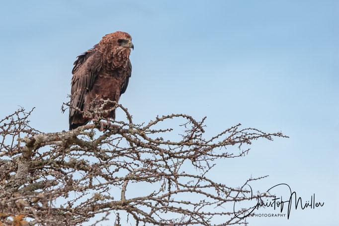 The brown snake eagle (Circaetus cinereus) in Lake Mburo National Park, Uganda