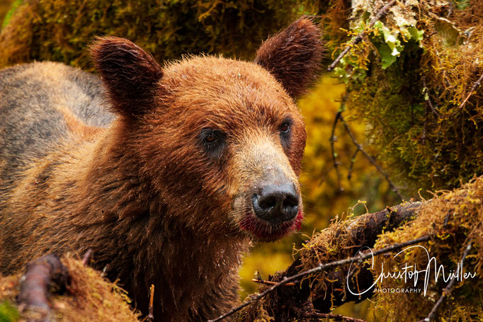 close up and eye to eye encounter with a young Grizzly Bear
